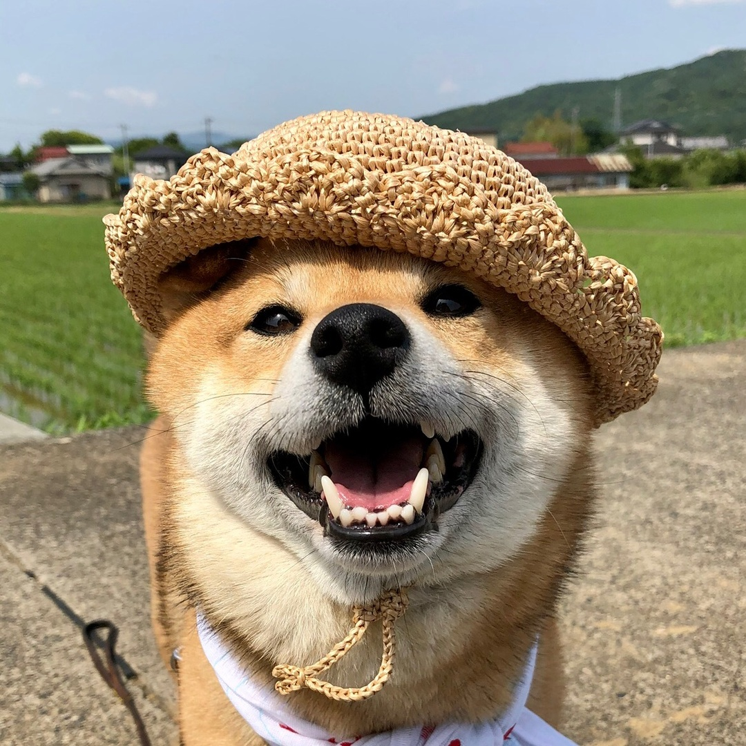 豆柴フク - fuku.shiba