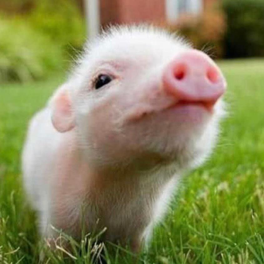 🐷🐷🌸🌸🌸我是豬 - 30330886201