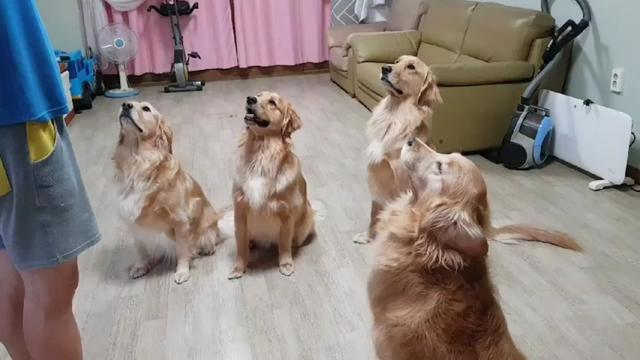 #멍지네 #골든리트리버 #대형견 #반려견 #반려동물 #강아지 #애견 #개 #멍뭉이 #goldenretriever #doggie #dogs #dog #ilovemydog #pet