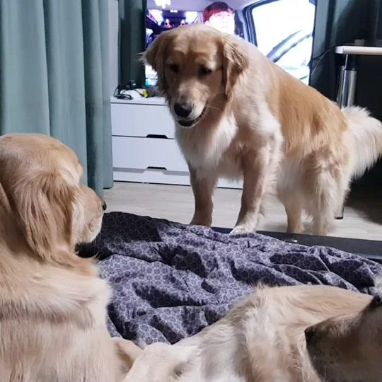 #멍지네 #일상 #골든리트리버 #대형견 #반려견 #반려동물 #강아지 #애견 #개 #멍뭉이 #goldenretriever #doggie #dogs #dog #ilovemydog