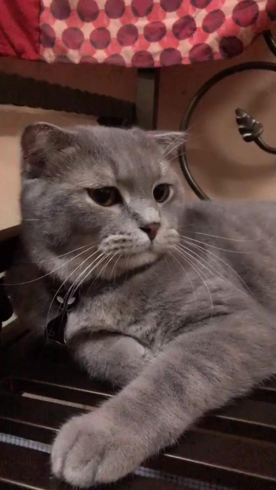 cer teka  nape yg ash buat muka macam tu?adakah ash bosan asyik rakam dia je#tiktok #ilovepet#cat