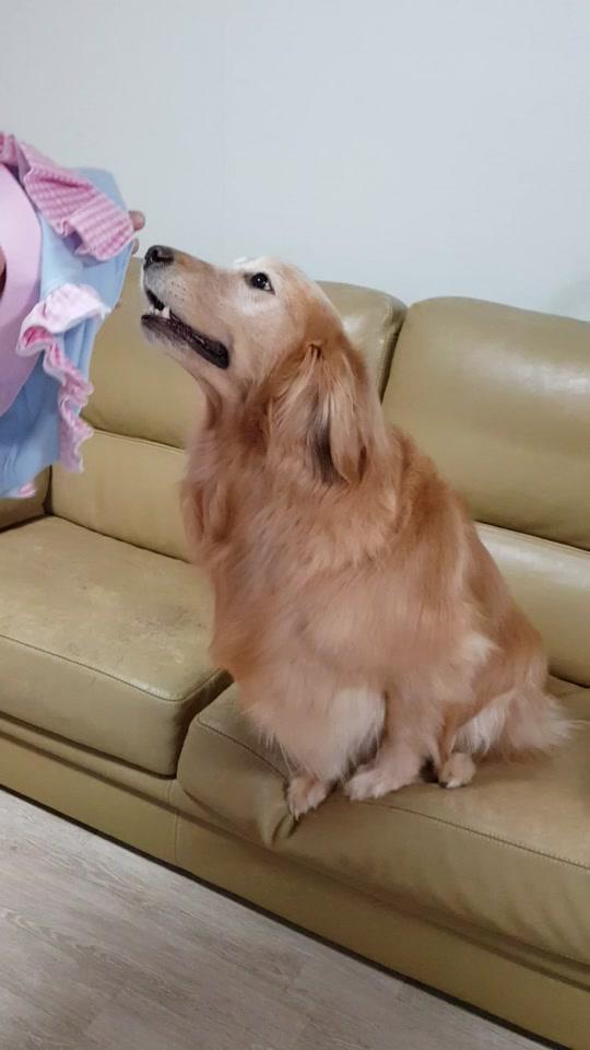 #인스타그램 #멍지네 #골든리트리버 #대형견 #반려견 #반려동물 #강아지 #애견 #개 #멍뭉이 #골댕이 #goldenretriever #dog #dogs #doggie #pet