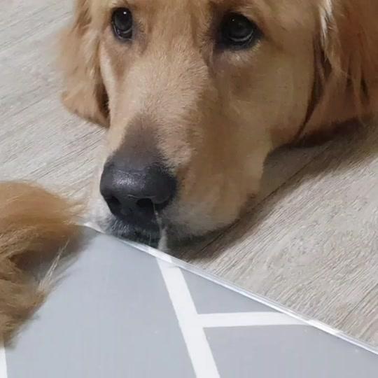 핑구? 인스타그램 멍지네 #골든리트리버 #대형견 #반려견 #반려동물 #강아지 #애견 #개 #멍뭉이 #goldenretriever #doggie #dogs #ilovemydog