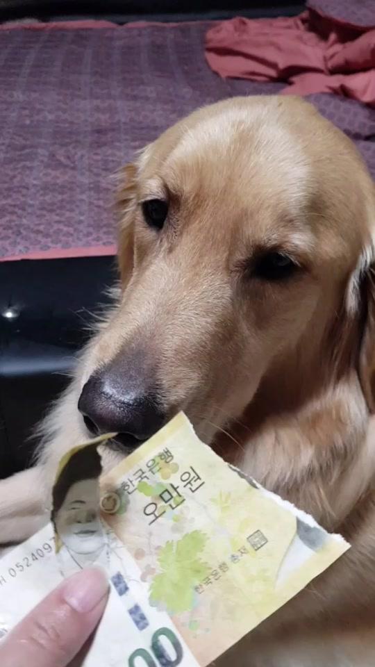 #인스타그램 #멍지네 #골든리트리버 #대형견 #반려견 #반려동물 #강아지 #애견 #개 #goldenretriever #doggie #dogs #dog #ilovemydog